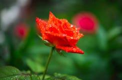Orange rose with rain drops Stock Images