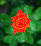 Orange rose with rain drops Royalty Free Stock Photography