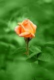 Orange rose on rain. Green background Stock Images