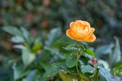 Orange rose after the rain. Orange rose covered with raindrops royalty free stock photos
