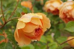 Orange rose after rain. Stock Image