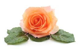Orange rose after a rain. Orange rose after a rain on a white background stock image