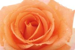 Orange rose after a rain. Royalty Free Stock Image