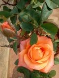 Orange rose royalty free stock image
