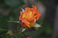 Orange rose in rosengarden stock photography