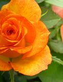 Orange rose. S with leaves background Royalty Free Stock Photography