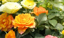 Orange rose. S with leaves background Royalty Free Stock Image
