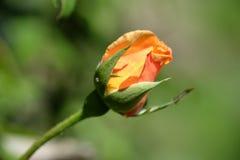 Orange rose shot. Macro shot of an orange rose on bokeh background stock photography