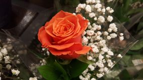 Orange rose. Single orange rose stock images