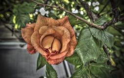 Orange Rose. A single orange rose on a branch stock photo