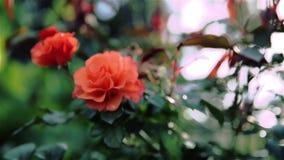Orange rose. Soft focus. Orange rose on a sunny day. Soft focus stock video footage