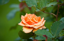 Orange rose, sort The Cheshire Regiment Royalty Free Stock Images