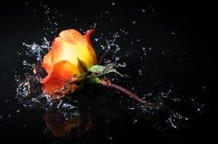 Orange rose splash. Ing into water on isolated white background royalty free stock images