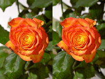 Orange Rose Stereo Photo Stock Photography