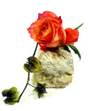 Orange Rose on a stone. A orange rose with physalis on a stone royalty free stock photography