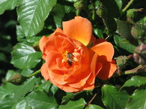 Orange rose. Summer orange rose flower on the bush in the garden and bee on them stock photography