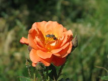 Orange rose. Summer orange rose flower on the bush in the garden and bee on them stock images