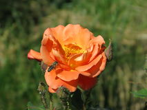 Orange rose. Summer orange rose flower on the bush in the garden and bee on them stock image
