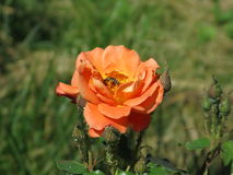 Orange rose. Summer orange rose flower on the bush in the garden and bee on them stock photo