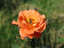 Orange rose. Summer orange rose flower on the bush in the garden and bees on them stock photography
