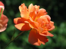 Orange rose. A summer orange rose flower in the garden royalty free stock photography