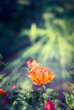 Orange rose in sun rays on green garten background Royalty Free Stock Images