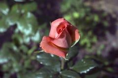 Orange rose. In the sunlight stock image