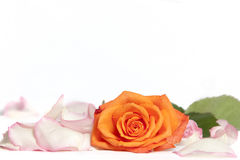 Orange rose surrounded by leaves of pink rose on w Royalty Free Stock Photo