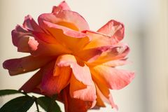 Orange rose to the sun. Orange rose in the sun a sunny summer day on a blurred background stock photo