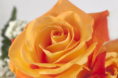 Orange Rose. For typical bouquet use royalty free stock photography