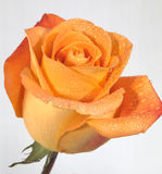 Orange Rose. For typical bouquet use stock photo