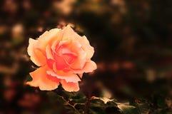 Orange rose under warm sunlight. In the garden Stock Photo