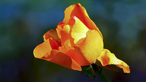 Orange rose. Vibrant orange color rose in the garden stock photo