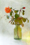 Orange Rose. View of a orange Rose in full bloom on a Green background royalty free stock photography