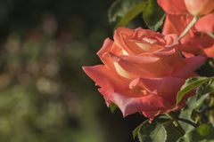 Orange Rose. An orange rose viewed from the side, isolated against a blurred background royalty free stock image