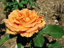 Orange rose. An orange rose with a vintage color and feel stock images