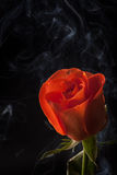 Orange rose. An orange rose with water droplets on black background with scattered smoke Stock Photo