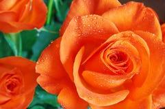 Orange rose with water drops. Beautiful orange rose with water drops stock image