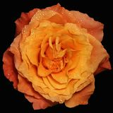 Orange rose with water drops,black background Stock Photography