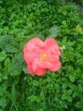 Orange rose. Water drops leaf royalty free stock photos
