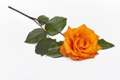 Orange Rose on White. View of a single orange rose on a white background Stock Photo