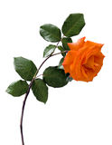 Orange Rose on White. A close-up of an orange rose with leaves on a white background Royalty Free Stock Photography