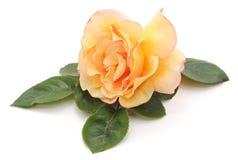 Orange rose. stock photos