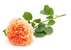 Orange rose. Orange rose on a white background stock image