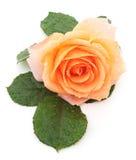 Orange rose. Orange rose on a white background stock images