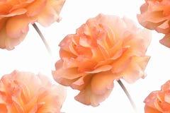 Orange rose on white background. Isolated orange rose on white background royalty free stock photography