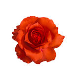 Orange rose on white. Orange rose isolated on white with clipping path royalty free stock photos