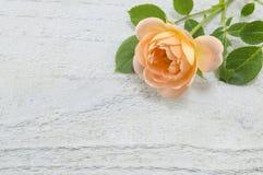Orange rose on white wooden backgound. Romantic orange rose on white wooden backgound royalty free stock images