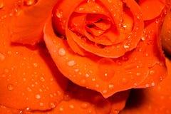 Orange Rose With Droplets Macro Stock Image