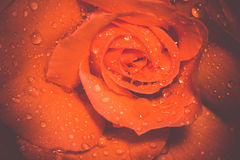 Orange Rose With Droplets Macro Retro Royalty Free Stock Photography